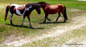See the Chincoteague Ponies.