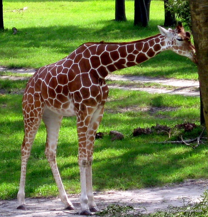 Giraffe grazing at Disney's Animal Kingdom Lodge