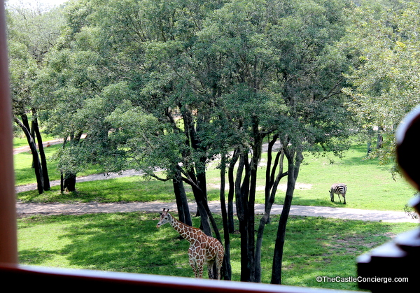 Savanna view. Giraffes. Animal Kingdom Lodge.